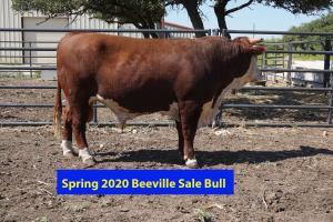 Case Beeville Sale Bull 769