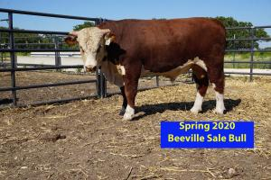 Case Beeville Sale Bull 837