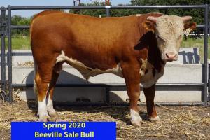 Case Beeville Sale Bull 832