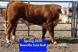 Case Beeville Sale Bull 833