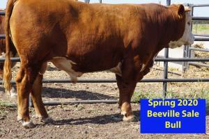 Case Beeville Sale Bull 873