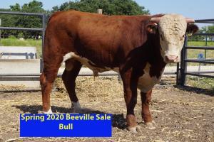 Case Beeville Sale Bull 830