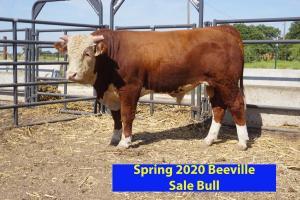 Case Beeville Sale Bull 794