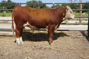 Case Ranch Hereford Sale Bull 872