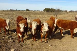 Hereford bred heifers for sale 2019