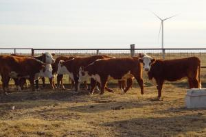Picture of heifers