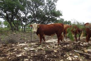 Case Ranch Sale Bull 2021 Lot 14