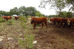 Case Ranch Sale Bull 2021 Lot 16