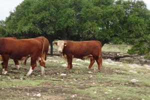 Case Ranch Sale Bull 2021 Lot 21