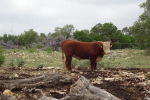 Case Ranch Sale Bull 2021 Lot 26
