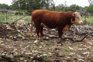 Case Ranch Sale Bull 2021 Lot 28