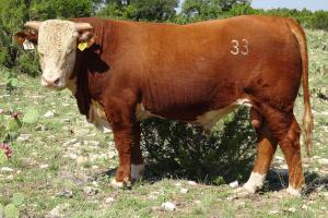 Case Ranch Sale Bull 2021 Lot 33
