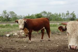 Case Ranch Sale Bull 2021 Lot 34