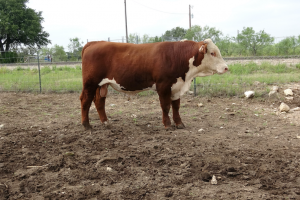 Case Ranch Sale Bull 2021 Lot 36
