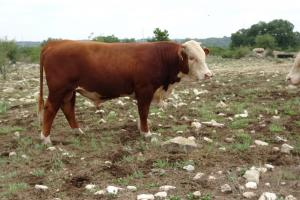 Case Ranch Sale Bull 2021 Lot 39