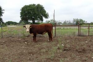 Case Ranch sale Bull 2021 Lot 43
