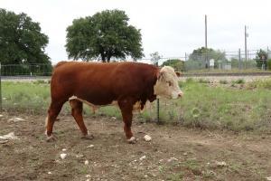 Case ranch sale Bull 2021 Lot 45