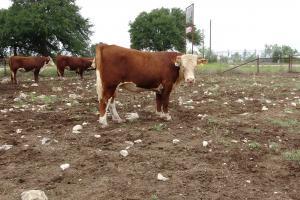 Case Ranch Sale Bull 2021 Lot 48