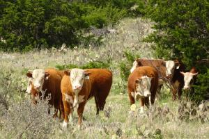 Case Ranch Hereford Bull 787
