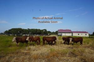 Case Ranch Sale Bull 986