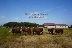 Case Ranch Sale bull 1014