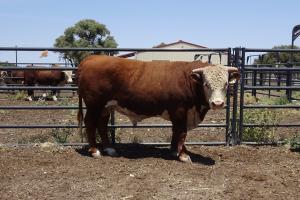 Case Ranch Sale Bull 913
