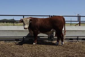 Case Ranch Sale Bull 890