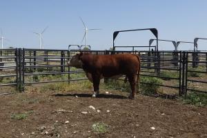 Case Ranch Sale Bull 919