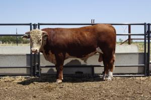 Case Ranch Sale Bull 930