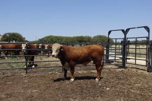 Case Ranch Sale Bull 935