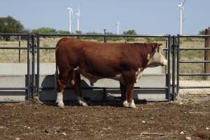 Case Ranch Sale Bull 978