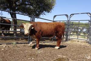 Case Ranch Sale Bull 988