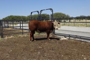 Case Ranch Sale Bull 995