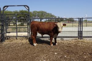 Case Ranch Sale Bull 1007