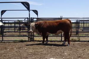 Case Ranch Sale Bull 968