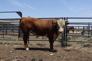 Case Ranch Sale Bull 911