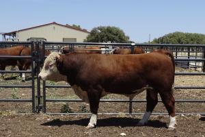 Case Ranch Sale Bull 961