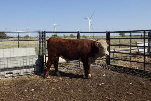 Case Ranch Sale Bull 1003