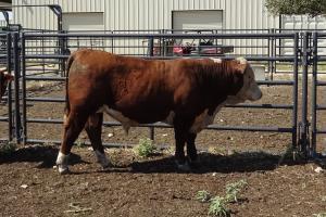 Case Ranch Sale Bull 996